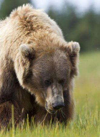 reiseagenturbrandner individualreise bärenbeobachtung alaska fotoreisea
