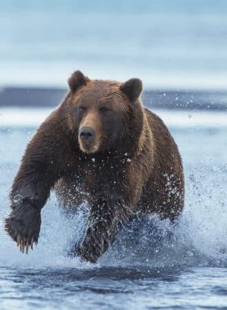 reiseagenturbrandner individualreise bärenbeobachtung alaska