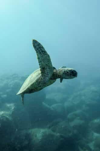 reiseagenturbrandner reisen costa rica individualreise Schildkröte unterwasser tauchen